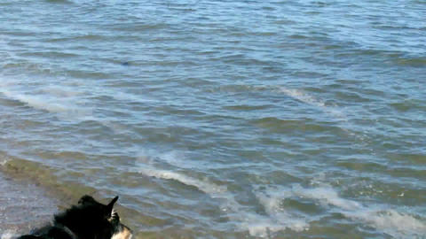 Dogs playing on the Beach Stock Video Footage