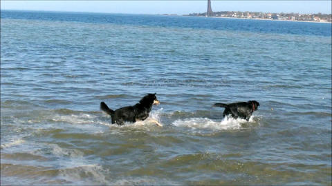 Dogs playing on the Beach Footage