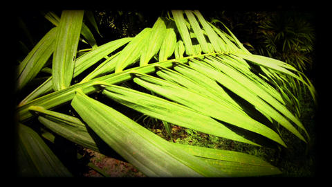 Palm Leaf Footage