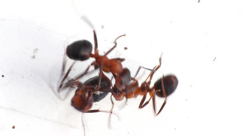 three insect of ant macro fight Footage