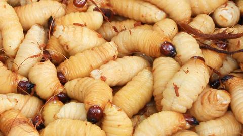 Sago Palm Weevil Footage