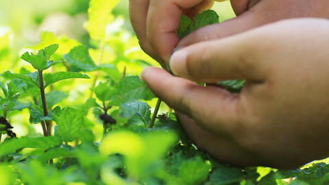 pick fresh kitchen mint leaves from the tree Footage