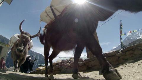 HIMALAYAS, NEPAL - MARCH, 2014: 2.7K. Yaks on trai Footage
