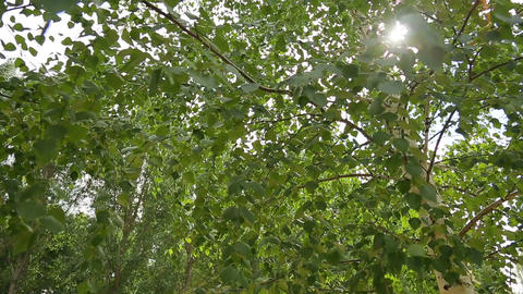 Birch , leaves , sun Footage