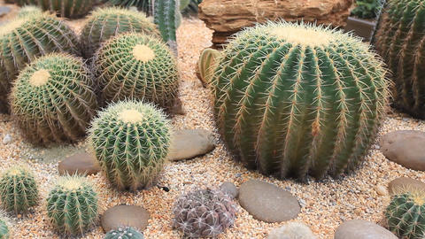 HD DOLLY:cactus garden Footage