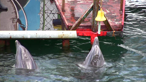dolphin with bell Stock Video Footage