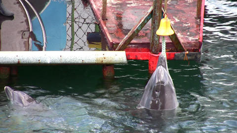 dolphin with bell Footage