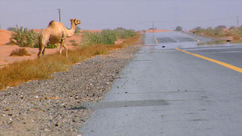 camel walk over street Stock Video Footage
