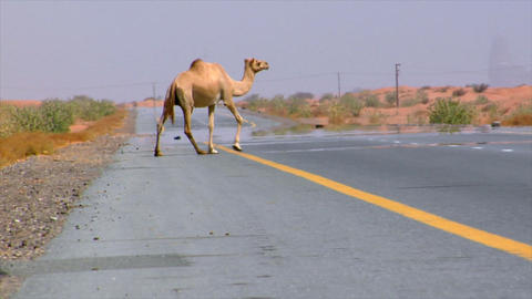 camel walk over street Stock Video Footage