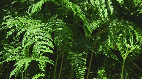 Ferns Stock Video Footage