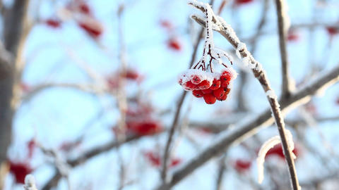 Frozen Ashberry Stock Video Footage
