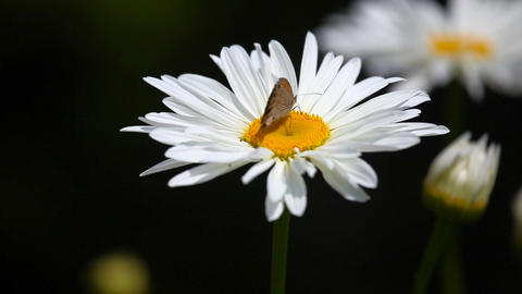 Butterflie on chamomile Stock Video Footage