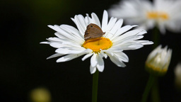 Butterflie on chamomile Footage