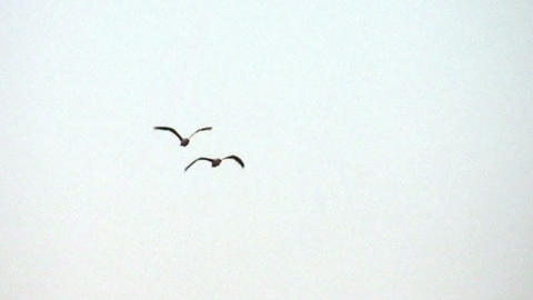 couple of birds in sky Footage