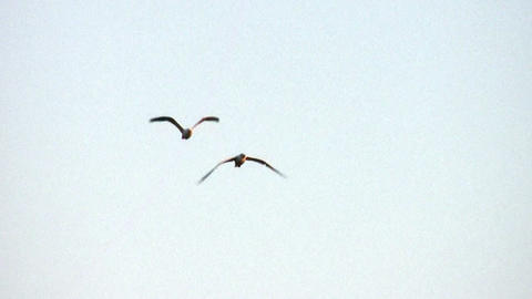 couple of birds in sky Stock Video Footage
