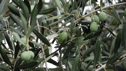 Fresh olives growing in garden - Agriculture - Farm Stock Video Footage