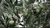 Fresh Olives Growing In Garden - Agriculture - Farm stock footage