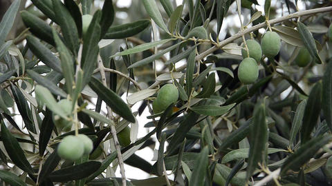 Fresh olives growing in garden - Agriculture - Farm Footage