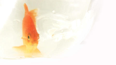 Gold Fish 2 Footage