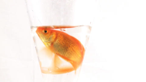 Gold Fish 4 Footage