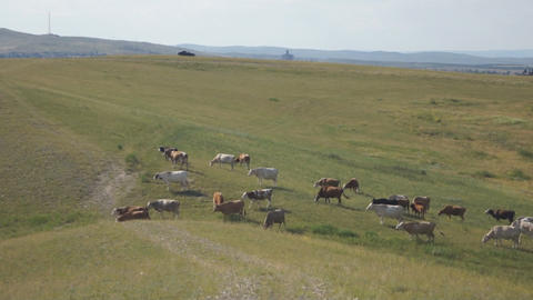 Cows pasturing in the steppe 05 Stock Video Footage