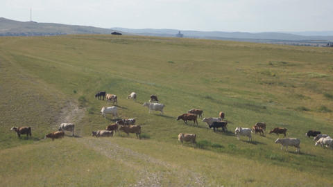 Cows Pasturing In The Steppe 05 stock footage