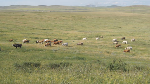 Cows pasturing in the steppe 01 Stock Video Footage