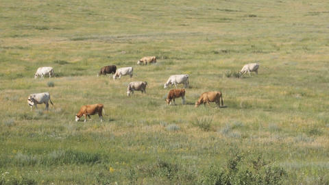 Cows pasturing in the steppe 03 Footage