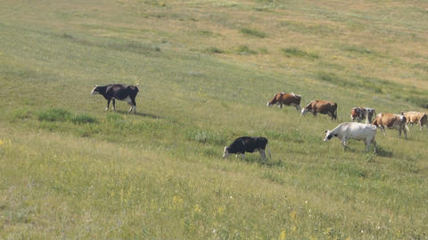 Cows pasturing in the steppe 04 Footage
