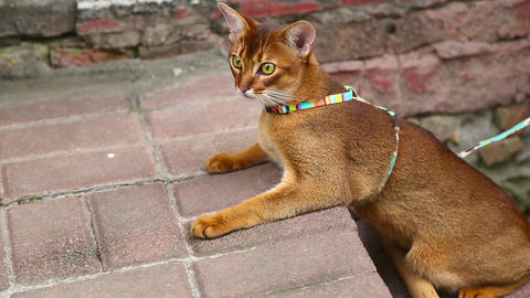 Abyssinian cat Live Action