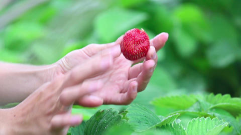 Ripe strawberry Footage