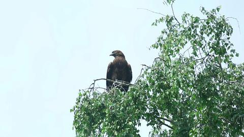 Hawk bird Live Action