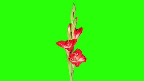 Blooming red gladiolus flower buds green screen, F Stock Video Footage