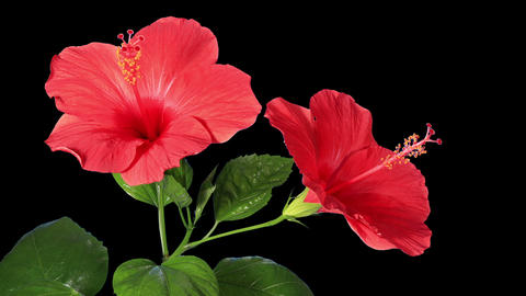 Blooming red Hibiscus flower buds ALPHA matte, FUL Live Action