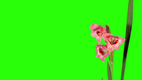 Blooming pink gladiolus flower buds green screen,  Footage