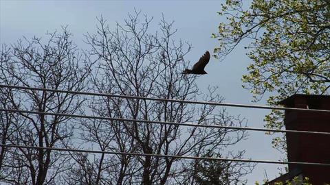 1361 Vulchers Flying Footage
