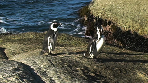 1381 Penguin on Rocks by Ocean In Cape Town Africa Live Action
