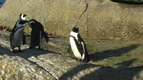 1383 Penguin on Rocks by Ocean in Cape Town Africa Live Action