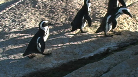 1385 Penguin Jumping over Rocks by Ocean in Cape T Footage