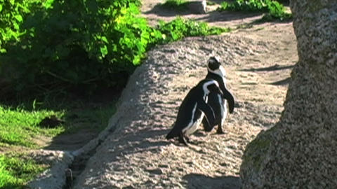 1387 Penguin on Rocks by Ocean in Cape Town Africa Stock Video Footage