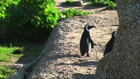 1387 Penguin on Rocks by Ocean in Cape Town Africa Live Action