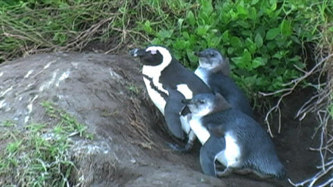 1389 Penguin on Rocks by Ocean in Cape Town Africa Live Action