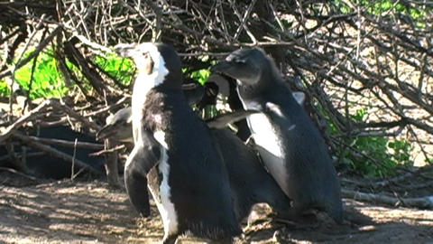 1393 Mother Penguin Feeding Her Young by Ocean in Stock Video Footage
