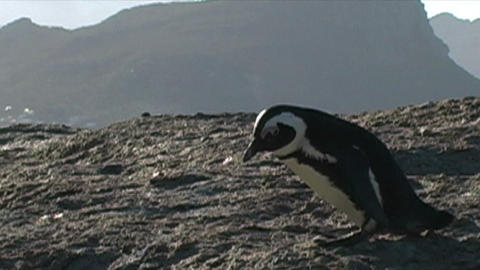 1397 Penguin on Rocks by Ocean in Cape Town Africa Stock Video Footage