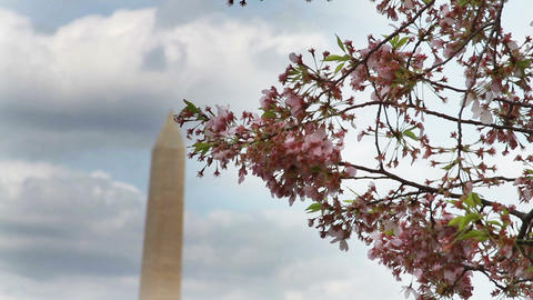 1225 Cherry Blossoms Washington Monument in DC Live Action