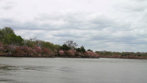 1231 Cherry Blossoms Washington and Jefferson Monu Stock Video Footage