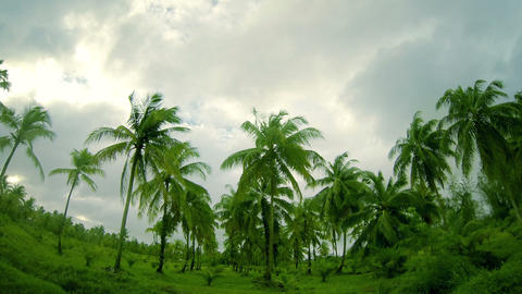 Palm Tree Plantation stock footage