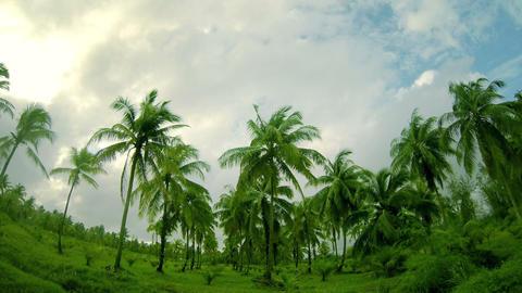 Palm Tree Plantation Stock Video Footage