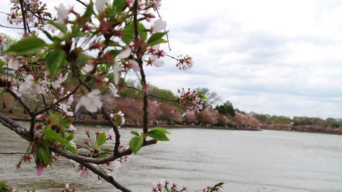1237 Cherry Blossoms Next to Pond Washington DC , Stock Video Footage