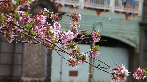 1242 Cherry Blossoms Blowing off by Bridge and Pon Footage